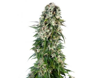 Big Bud Automatic (Sensi Seeds) feminizada