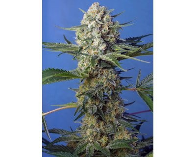 Crystal Candy Fast (Sweet Seeds) feminized