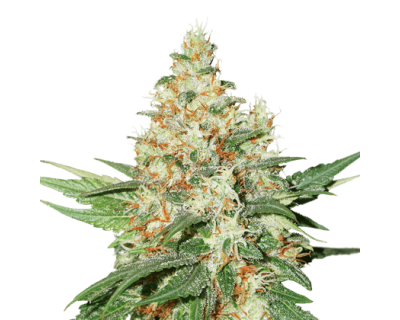 O.G. Kush (Seedstockers) feminized