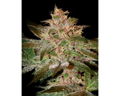 Pure Kush (Greenhouse) feminized