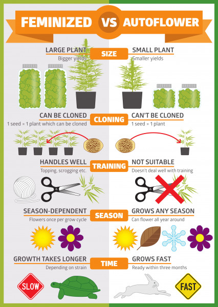 973-1-Autoflowering-vs-feminised-infographic-1