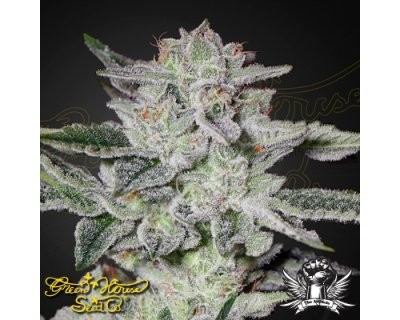 Sweet Valley Kush (Green House) feminized
