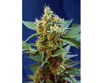 Cream Mandarine XL Auto (Sweet Seeds) feminized