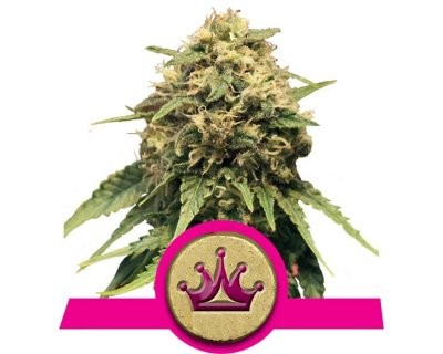 Special Queen #1 (Royal Queen Seeds) gefeminiseerd