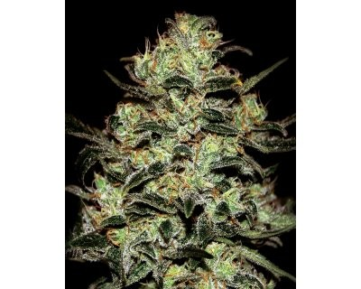 Moby Dick (Greenhouse) feminized