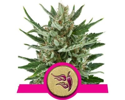 Speedy Chile Fast (Royal Queen Seeds) feminized