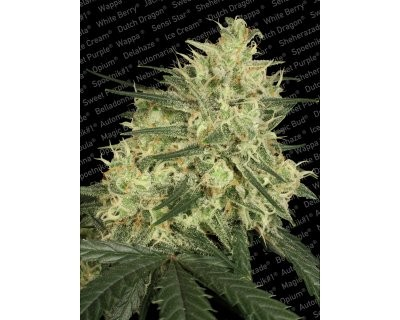 Atomical Haze (Paradise Seeds) feminized