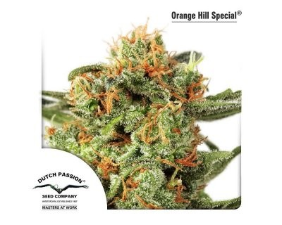 Orange Hill Special (Dutch Passion) gefeminiseerd