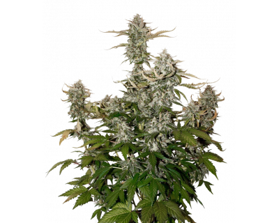 Candy Dawg Auto (Seedstockers) feminized