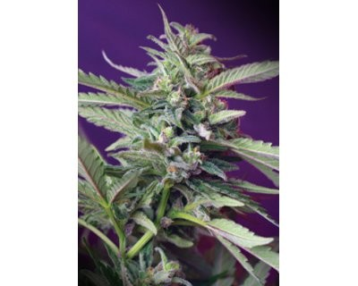 S.A.D. Auto (Sweet Seeds) feminized