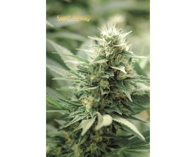 Agartha CBD (Super Strains) feminized
