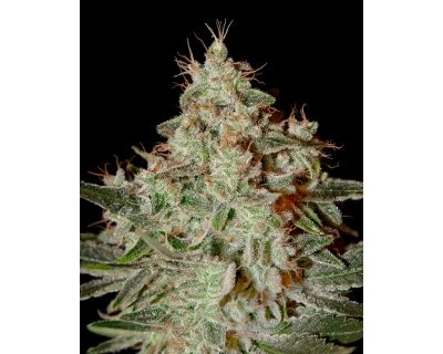 Lemon Skunk (Greenhouse) feminized