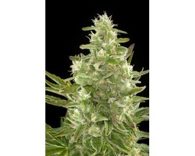 Cheese Automatic (Dinafem) feminized