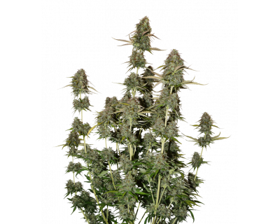 BCN Power Plant Auto (Seedstockers) feminized