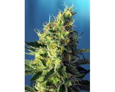 Sweet Pure CBD (Sweet Seeds) gefeminiseerd