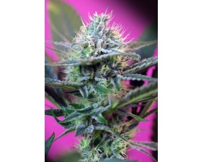 +Speed Autoflowering (Sweet Seeds) feminized
