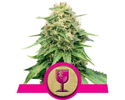 Critical (Royal Queen Seeds) feminisiert
