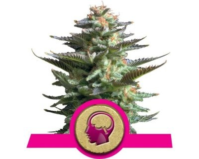 Amnesia Haze (Royal Queen Seeds) féminisée