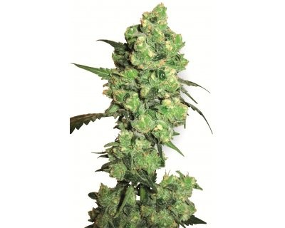 Super Skunk (White Label) gefeminiseerd
