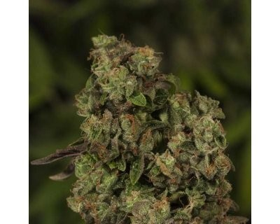 OG Reek'n (Devil's Harvest) feminized
