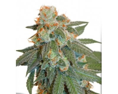 Auto Orange Bud (Dutch Passion) feminized