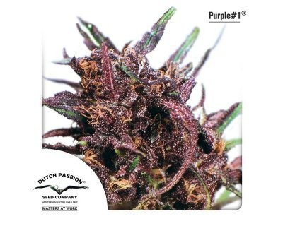 Purple #1 (Dutch Passion) feminized