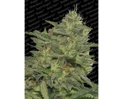 Original Cheese (Paradise Seeds) gefeminiseerd