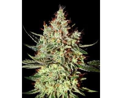 K-Train (Greenhouse) feminized