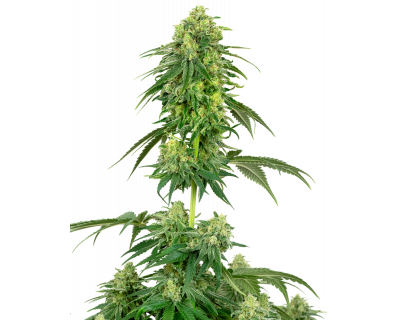 Strawberry Kush (White Label) feminized