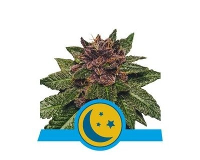 Purplematic CBD (Royal Queen Seeds)