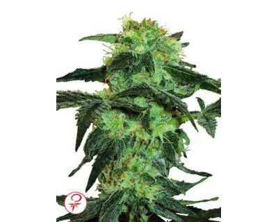 White Ice (White Label) feminized