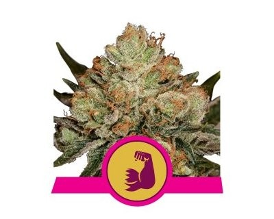 HulkBerry (Royal Queen Seeds) féminisée