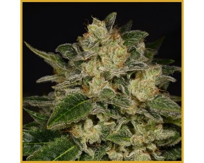 Light Speed (Archive Seed Bank) feminized