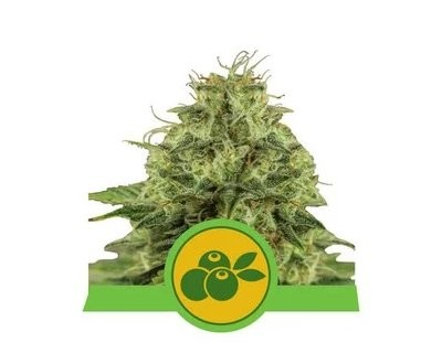 Haze Berry Automatic (Royal Queen Seeds)