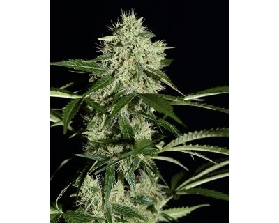 Northern Light Autoflowering (Greenhouse) feminized