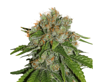 Amnesia Auto (Seedstockers) feminized