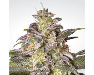 Magic Bud (Paradise Seeds) gefeminiseerd
