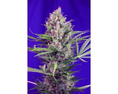 Cream Mandarine F1 Fast Version (Sweet Seeds) feminized