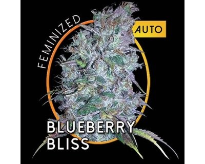 Blueberry Bliss AUTO (Vision Seeds) feminizada