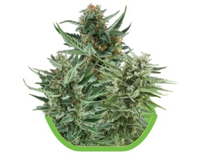 Auto-floreciente Mix (Royal Queen Seeds)