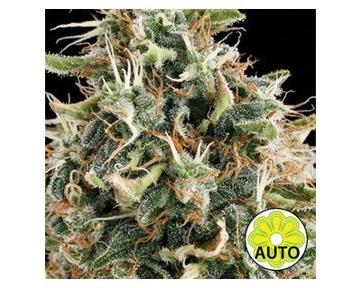 White Widow Auto (Vision Seeds) gefeminiseerd