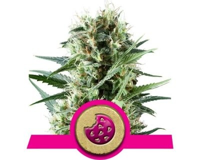 Royal Cookies (Royal Queen Seeds) gefeminiseerd