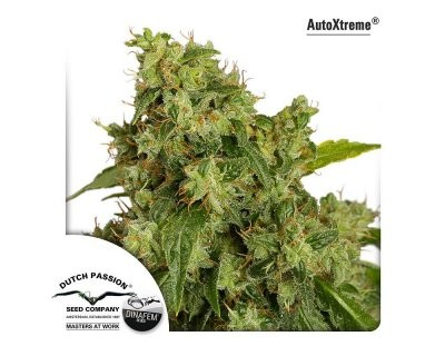 Auto Xtreme (Dutch Passion) feminisiert
