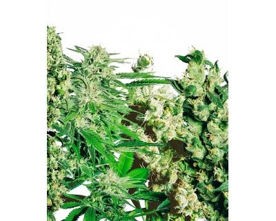 Feminized Mix (Sensi Seeds) feminized
