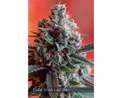 Dark Star x AK-49 (Vision Seeds) feminized
