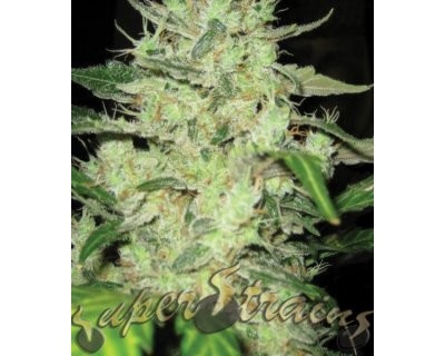 Next Of Kin (Super Strains) feminized