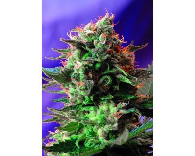 Jack 47 F1 Fast Version (Sweet Seeds) feminized