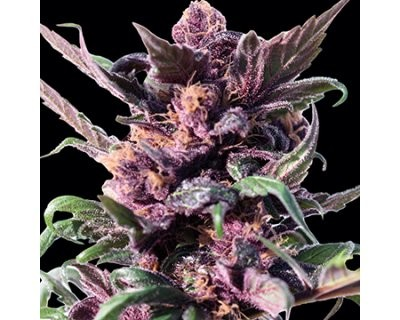 Ayahuasca Purple (Barney's Farm) feminized