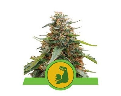 HulkBerry Automatic (Royal Queen Seeds)