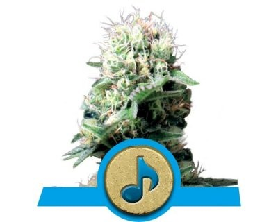 Dance World (Royal Queen Seeds) gefeminiseerd